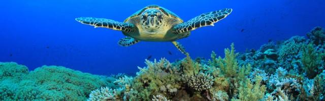 -Hawksbill-Sea-Turtle-glides-ov-26727344-2